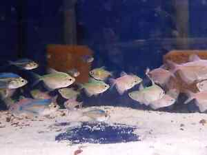 Schooling fish (tetras and corys)