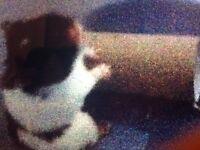 Syrian hamster ( female)