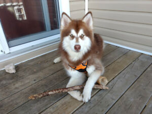 1 Year Old Husky Looking For New Home!
