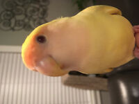 LOST - LOVEBIRD - Yellow- White Rock