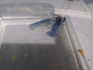 Electric Blue Crayfish (2 female sub-adults available)