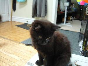Fuzzy, A Black Kitty for Adoption! Kawartha Lakes Peterborough Area image 3