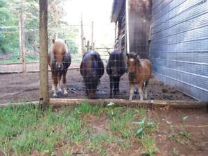 Free lightweight miniature horse (non-contaminated) manure