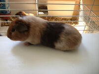Male Guinea Pig for Sale!