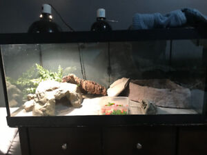 Selling my 3 year old Bearded dragon