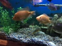 Cichlid Tropical Fish