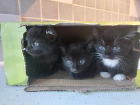 Kittens BSH/Tuxedo
