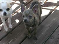 3 chihuahuas prêts pour adoption