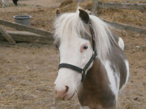 Exposed Pinto Mare For Sale
