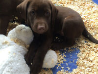 ONLY 3 LEFT!!! LAB PUPPIES. Can deliver to Vancouver Friday OCT9