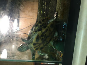 6 year old Red Eared Turtle