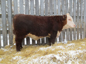 Hereford Bulls for sale