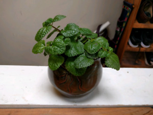 Healthy, cute, air-cleaning swedish ivy plants