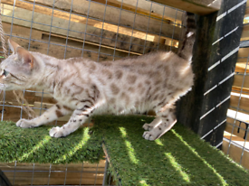 Snow Bengal female for good home