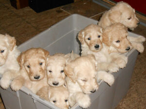 Creamy Golden Doodles for Sale