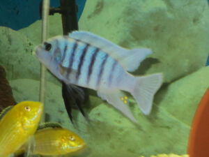 Zebra Chilumba''Maison Reef''