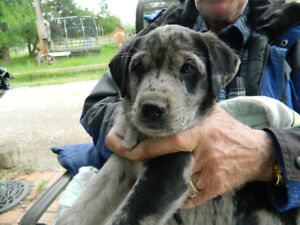 LAB X CATAHOULA  Blue Leopard Female Spotted