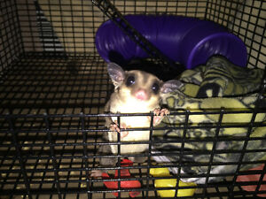 2 one year old sugar gliders