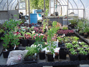PERENNIALS-buy from a local grower-ALWAYS SAVE THE TAX Kawartha Lakes Peterborough Area image 4