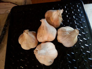 Organic Garlic $6 pound