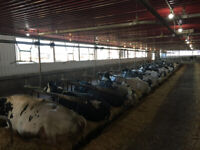 Dairy Farm Milking Position