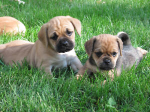 GORGEOUS PUGGLE PUPPIES!