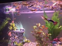 Guppies male and female