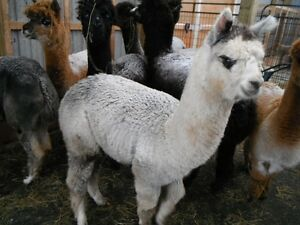 Thinking about raising alpacas?
