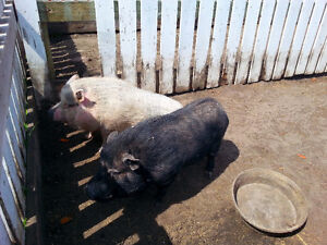 Male and female Potbelly Pig