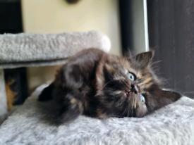 Fluffy British longhair x kittens