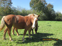 2 yr old Belgian mare.
