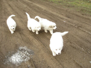 P.B Great pyrenees Puppies