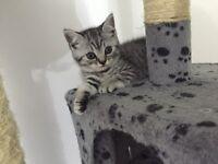 Beautiful full pedigree Bsh British shorthair short hair kittens for sale