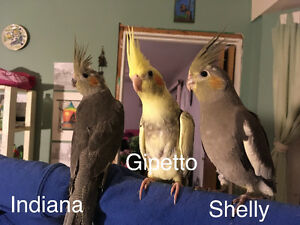 2 month old cockatiels for sale