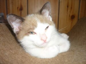 Snowshoe Siamese Kittens