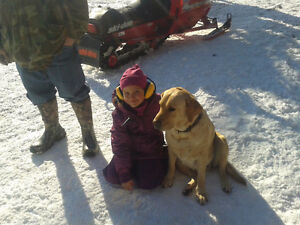 WANTED ! Loving Country home looking for a Female Labrador. Stratford Kitchener Area image 1