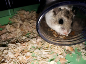 Hamster chinoise