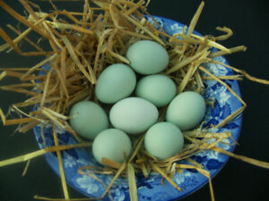 Easter Egger hens and roosters hatched from blue / green eggs