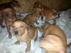 5 Christmas pups still available  Peterborough Peterborough Area image 9