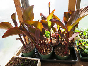 Plants de cannas rouges