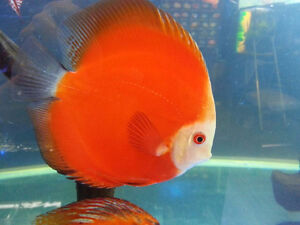 Discus Flowerhorn Cichlids Arowana Angel Crystal Shrimp Koi Fish