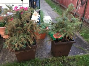 SPRUCE TREES TIMES TWO - IN LARGE BROWN TALL PLANTERS