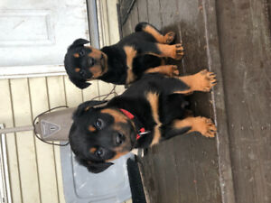Rottweiler Adopt Dogs Puppies Locally In British Columbia