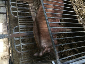 Sows gilts and boar. Tamworth pigs