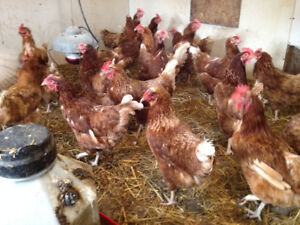 Year Old Hens