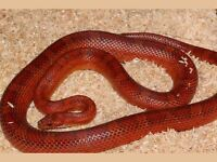 Red corn snake (female) age 8 FREE to a reptile lover
