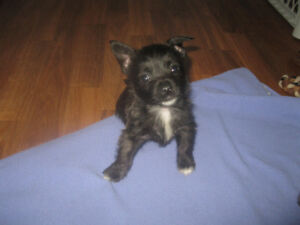 Cairn Terrier Mixed Breed Babies Have Arrived.