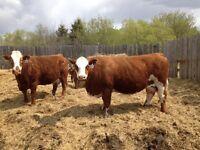 2 cow/calf pairs