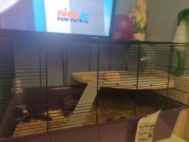 Hamster Dwarf Russian
