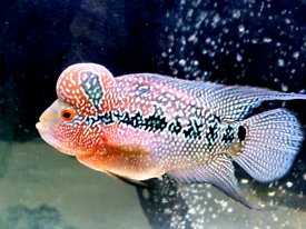 Flowerhorn | Fish for Sale - Gumtree